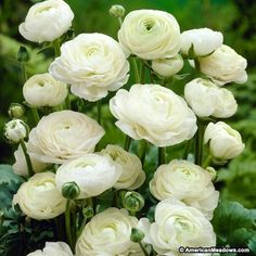 Ranunculus asiaticus White - 20 flower bulbsAlso known as the Persian buttercup, these bulbs will produce pure white fully double flowers withtightly clustered Bulb Flowers, Small Flowers, White Flowers, Beautiful Flowers, Exotic Flowers, Yellow Roses, Pink Roses, Pink Peonies, Fresh Flowers