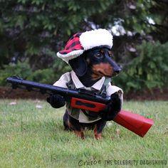 """I'mz a huntin' dog"" - Crusoe Celebrity Dachshund"