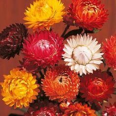 Helichrysum Forever Mix Seeds - colourful winter dried flowers, to dry, cut when just open