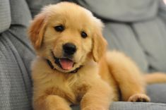 The Golden Retriever is the third most popular dog in the United States. For many people, the golden retriever is more or less the quintessential dog. When they think of dogs at all, they think of golden retrievers. When people decide to settle down in the suburbs with their picket fences and families, the dogs …