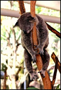 Koala at the Lone Pine Koala Sanctuary Lone Pine Koala Sanctuary, Baby Harp Seal, Koala Bears, Australia Animals, Quokka, Brisbane Australia, Zoos, Tonga, Wombat