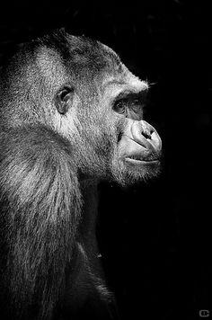 Stunning black and white gorilla portrait taken at the San Diego Zoo.