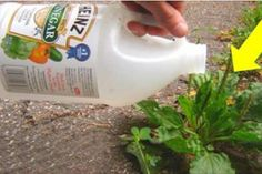 If you are looking for a few great weed killers, try my all natural weed killers! These weed killers are healthy for your plants, but not for weeds! Try one today! Garden Weeds, Garden Plants, Garden Tools, Pots D'argile, Clay Pots, Organic Gardening, Gardening Tips, Getting Rid Of Slugs, How To Clean Rust
