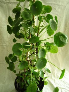 Plant Profile: Chinese Money Plant (Pilea peperomioides)
