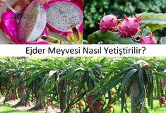 Ejder Meyvesi ( Pitaya ) Nasıl Yetiştirilir ~ Yeşil Parmak