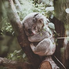 Late afternoon naps are the best aren't they?  #rest #recovery #beauty #allinadayswork #peace #meditation #healthyliving #naptime #koala