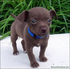 Chihuahua in chocolate and blue.