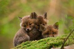 Fuzzy Wuzzy Was a Fox!