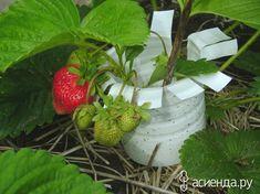 Как я делаю подставки под клубнику и сохраняю урожай: Группа Наши грядки