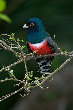 Blue-crowned Trogon by Sergio Coutinho on 500px