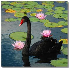 Black Swan....too amazing... we live on this planet with such a Beauty!!! Omg!