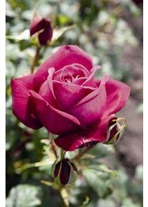 Johann Wolfgang von Goethe Rose®. Sterk en aangenaam geurende edelroos met grote violet purperen bloemen. De plant heeft een mooie regelmatige groeiwijze, is opvallend gezond met zachtgroen  glanzend blad. Bloeit lang door,  goede snijroos.