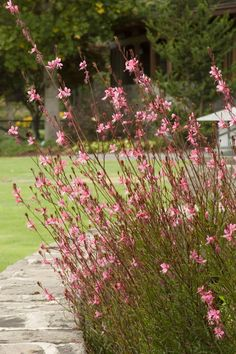 Gaura lindheimeri 'Pink Cloud' Airy masses of deep pink flowers cover the red-tinged foliage. This selection has a sturdy upright habit that doesn't fall open like other varieties. Tolerates drought, heat, and humidity. Useful in mixed perennial borders, rock gardens, containers and in cut flower arrangements. Moderate growing; reaches 2 to 3 ft. tall, and as wide. Full sun.