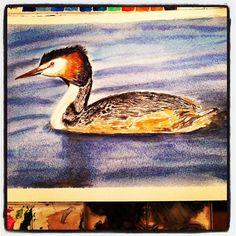 #watercolor #bird #Great #Crested #Grebe. #Somormujo #Lavanco  #birdwatching in #delta del #Llobregat #акварель #птицы - @pacotorresill- #webstagram