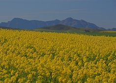 Swartland - Canola St Helena, West Coast, South Africa, Westerns, African, Cape, Travel, Outdoor, Beautiful