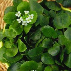 Nasturel. Planta bogata in vitamine, cu frunze verzi si un pic carnoase, ideale pentru salate, sosuri si mancaruri cu iaurt.