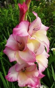 Gladiolus, haven't had these in years, may have to get them again this year