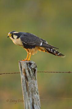Aplomado Falcon (Falco femoralis) from South America