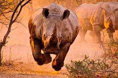 Rhino on the run...