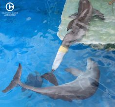 Hope the dolphin checking out Winter the dolphin's prosthetic tail for the very 1st time!