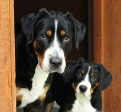 """<3 My favourite.... Greater Swiss Mountain Dog or nicknamed """"Swissies"""""""