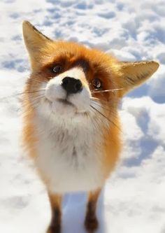 qual o som que a raposa faz? ♪ shauhsshauhs