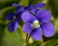 Violets for my Lord ❤️
