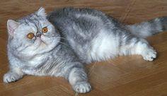 Pitti allevamento gatti persiani, exotic,himalayan. I maschi
