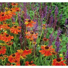 Grow Helenium and Salvia together for stunning purple and deep-orange floral borders. (borders for flower beds) Home Flowers, Exotic Flowers, Purple Flowers, Beautiful Flowers, Flower Bed Borders, Flower Beds, Plant Delivery, Butterfly Weed, Border Plants