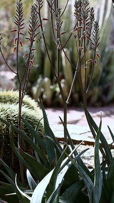Aloe molederana Succulents Garden, Garden Plants, Desert Botanical Garden, Desert Plants, During The Summer, Cacti, Green Leaves, Summer Time, Yard