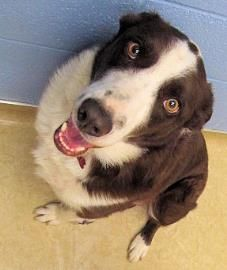 Petango.com – Meet Charles, a 3 years 10 months Border Collie / Mix available for adoption in Caldwell, ID