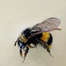 bumble bee scientific illustration