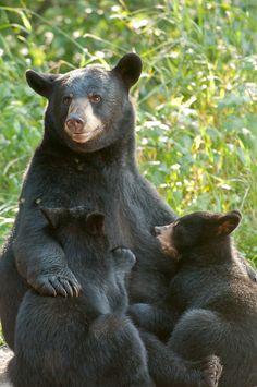 Nursing Black Bear - John Pennoyer