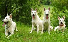 king shepherd dog photo   ... (German: Weisser Schweizer Schäferhund, White Swiss Shepherd Dog