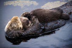 生まれたばかりのラッコの赤ちゃんをお腹の中に乗せ、やさしくいたわっているラッコのお母さん。この最上級の優しい世界はカリフォルニア州、モントレーベイ水族館で展開されていた。 嵐により一時的に水族館に保護されたお母さんラッコはこの水族館で出産した。生まれ