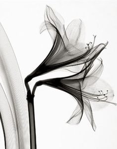 "Galerie BMG is pleased to present this exquisite collection of black and white botanical photographs, focusing on the hidden secrets of nature. By using x-rays instead of light, Steven Meyers reveals an unusual ""inner-vision"", showing the natural textures, details, and shadows that would otherwise not be seen."