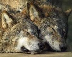 волки - Поиск в Google