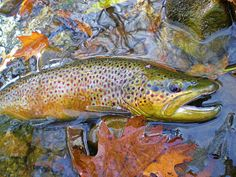 Male Brown Trout in full spawning colors.