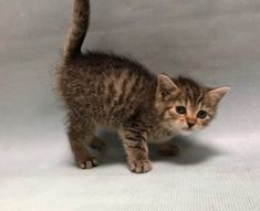 """2/23/18 - S.URGENT - 4 WEEKS OLD - POSSIBLY FELV POSITIVE --- Meet CJ: Can you say """"stinkin' cute""""?? Because you will the instant you lay eyes on CJ!  This pint sized boy reportedly tested positive for FeLV at a private vet.  When retested in the shelter, his results came back as a faint positive.  Our medical team recommends retesting CJ again when he is older to get a definitive answer on whether he is or is not FeLV+."""