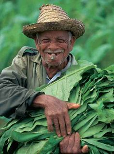 Cubaanse tabaksboer oogst zijn tabak / Cuban farmer is harvesting tobacco www.eenhoorn.eu