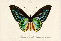 Butterfly Art Print - Natural History Art Poster  - Giclee Print - D' Urville's Birdwing Ornithoptera Priamus Urvillianus