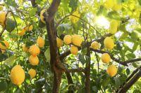 Citronnier : plantation, entretien, taille et récolte - Fiche pratique