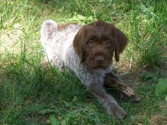 Wirehaired Pointing Griffons, Prairie Kennel, Griffons, www ...
