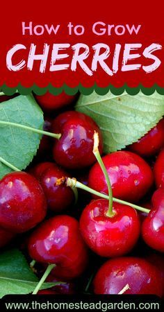 How to Grow Cherries is part of Growing fruit trees - Learn how to grow cherries in this post There are two types of cherries sweet and sour Learn everything you need to know in order to have a great crop no matter what Fruit Plants, Fruit Garden, Garden Trees, Edible Garden, Veggie Gardens, Herbs Garden, Water Plants, Growing Fruit Trees, Growing Plants