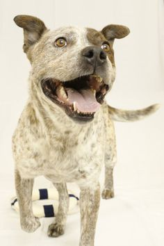 Conrad is available for adoption at the Davidson County Animal Shelter in Lexington, NC