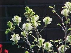 Fothergilla gardenii - Easily grown in average, medium, well-drained soil in full sun to part shade. Prefers moist, acidic, organically rich soils which have good drainage. Best flowers in full sun. May spread by root suckers to form colonies if suckers are not promptly removed.