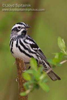 Black and White Warbler, eastern North America