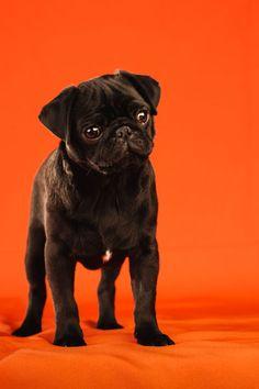 Fotografía de mascotas de un cachorro de Carlino. Fotografía de Mira al pajarito