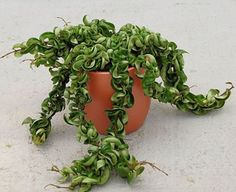 How to grow Hindu rope plant (Hoya carnosa compacta), plant pictures and planting care instructions supplied by real gardeners. Cacti And Succulents, Planting Succulents, Planting Flowers, Indoor Garden, Garden Plants, Indoor Plants, Air Plants, Hindu Rope Plant, Plant Pictures