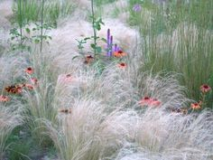 is an outstanding selection of ornamental grasses available to gardeners these days and with their graceful growing habit, long flowering and seasonal interest its easy to see why more and more. Prairie Planting, Prairie Garden, Meadow Garden, Dream Garden, Garden Grass, Gravel Garden, Landscape Design, Garden Design, Ornamental Grasses